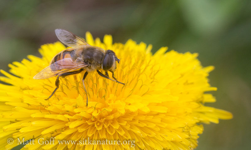 Eristalis anthophorina on Dandelion