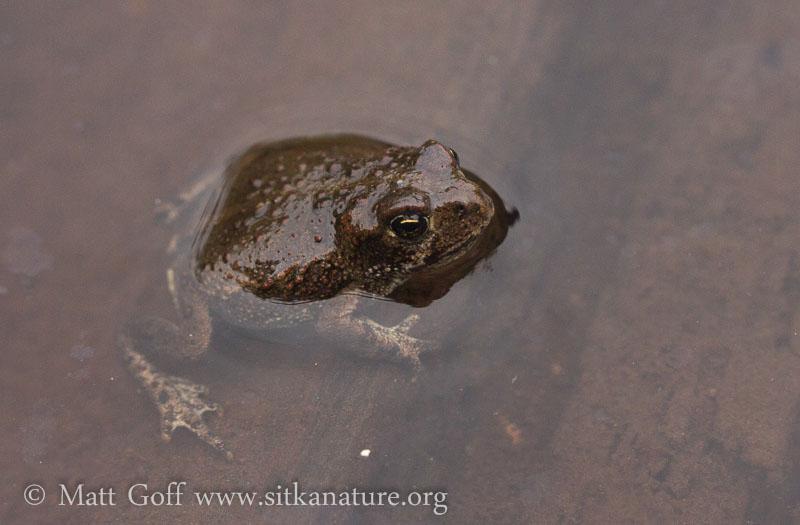 Small Toad (Anaxyrus boreas)