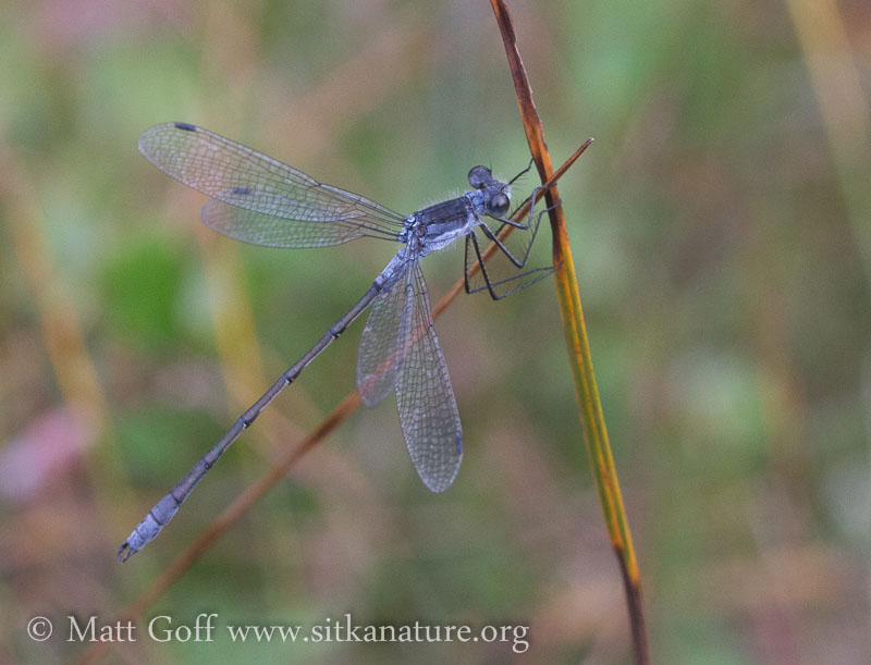 Northern Spreadwing (Lestes disjunctus)
