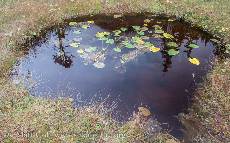 Uprooted Pond-lily (Nuphar polysepala)