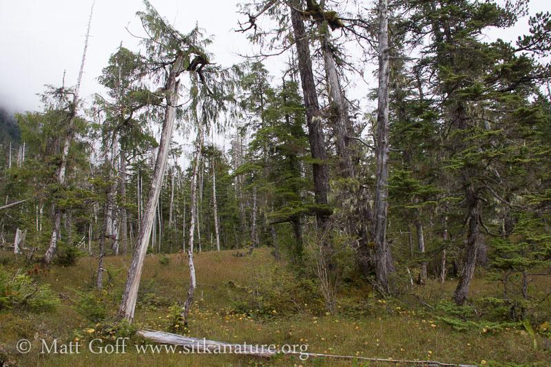 Split Cedar (Chamaecyparis nootkatensis)