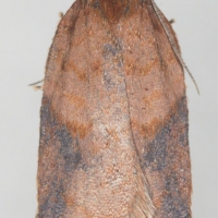 Unidentified Moth (Tortricidae?)