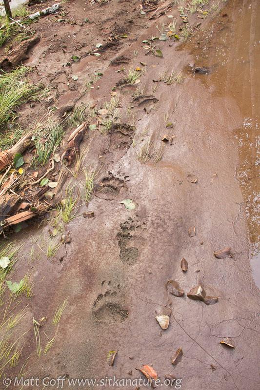 Bear (Ursus arctos) Tracks
