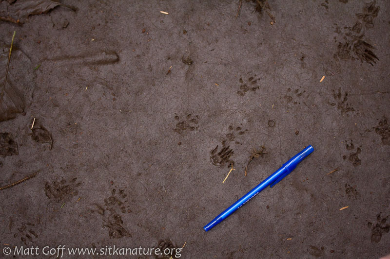 Red Squirrel (Taiasciurus hudsonicus) Tracks