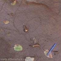 Invertebrate Tracks