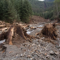 Logged Stumps