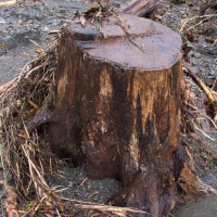 Stump in Washout Zone