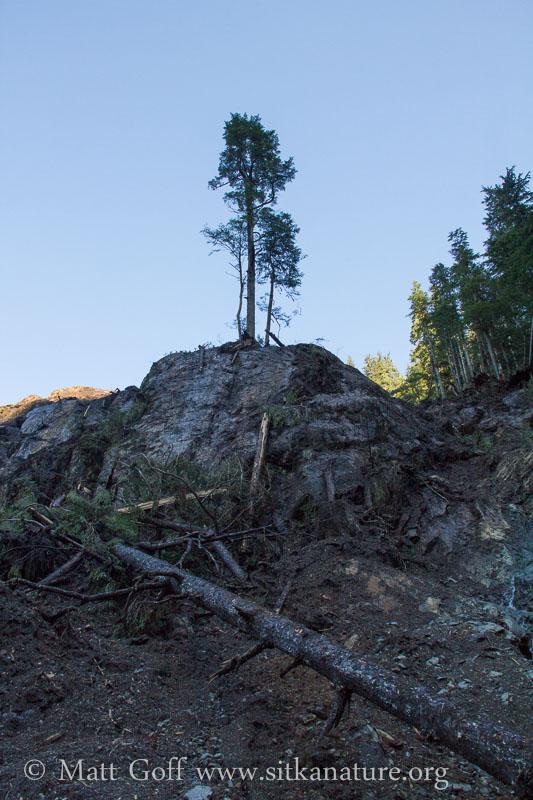 Survivor Trees