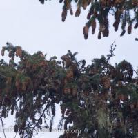 Red Squirrel (<em>Tamiasciurus hudsonicus</em>)