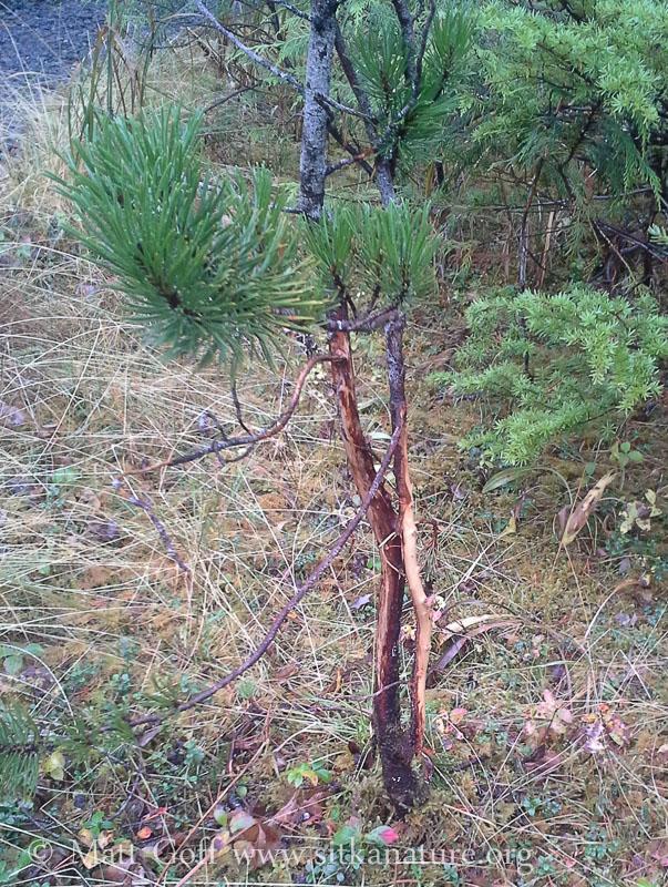 Buck Rub on Pine