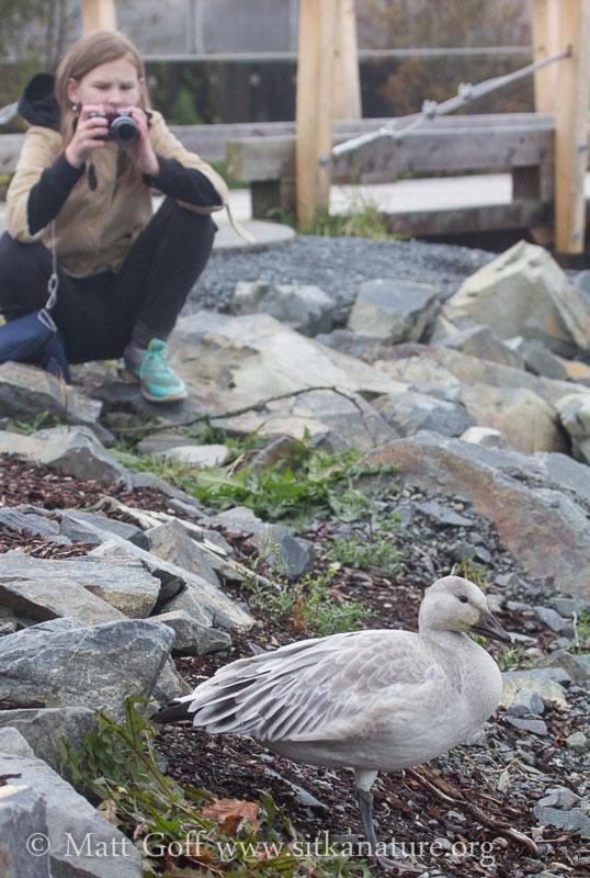 Rowan and Snow Goose