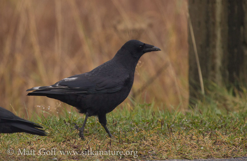 Pale Feathered Crow