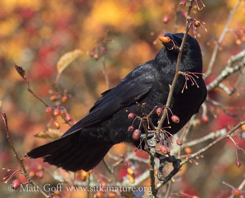 Northwestern Crow in Crabapple Tree