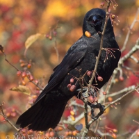Northwestern Crow in Crabapple Tree