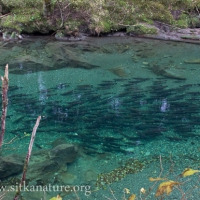 Indian River Cohos