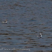 Red Phalaropes