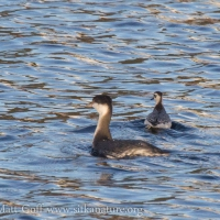 Grebe and Phalarope