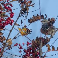 Northern Mockingbird in Mt. Ash