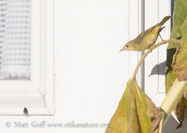 Yellow Warbler and Fly