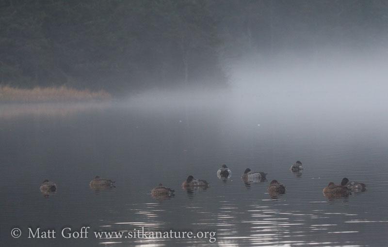 Ducks and Fog on Swan Lake