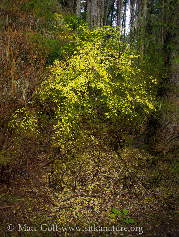 Late Fall Huckleberry Foliage