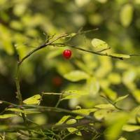 Late Fall Huckleberry Foliage