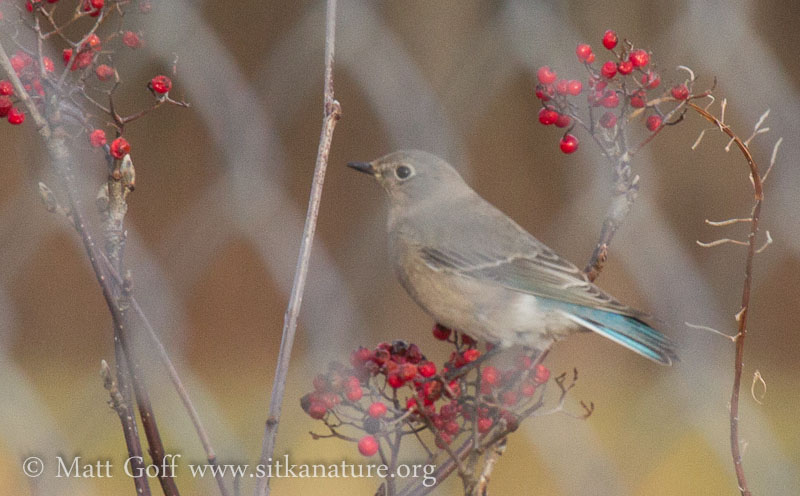 Mountain Bluebird on Mountain Ash