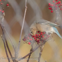 Mountain Bluebird on Mountain Ash