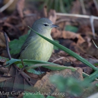 Late Orange-crowned Warbler