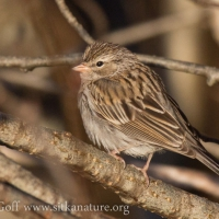 Immature Chipping Sparrow