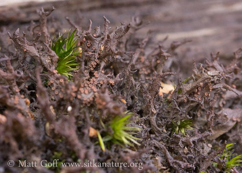 Antlered Jellyskin Lichen (Leptogium palmatum)