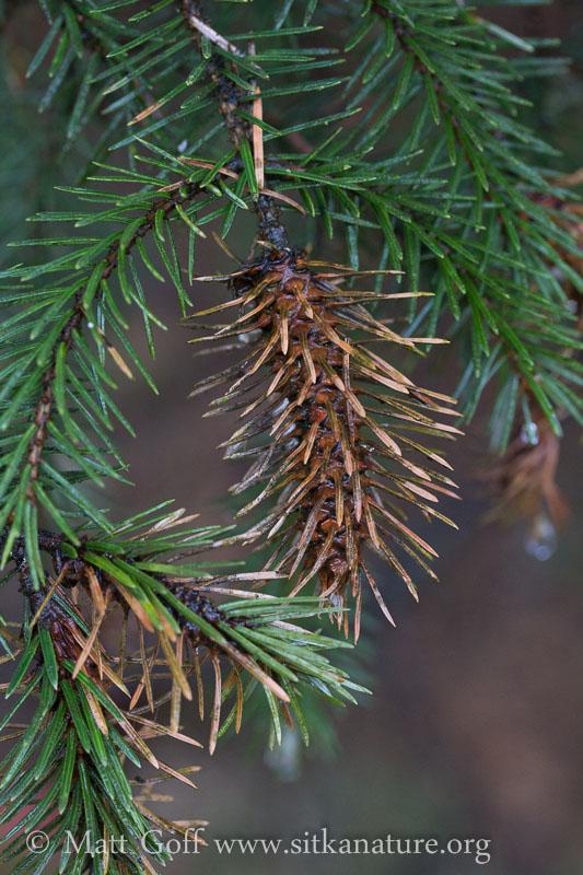 Odd Spruce Growth