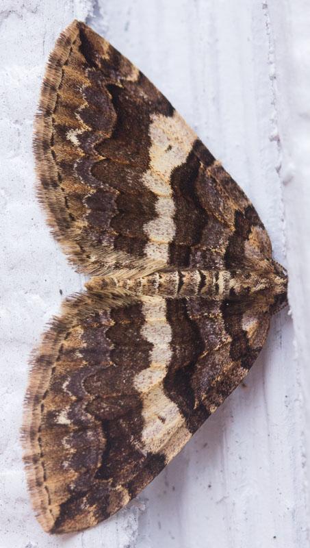 Variable Carpet (Anticlea vasilitata)