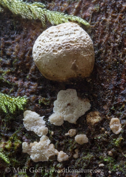 White Fungus