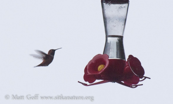 Winter Rufous Hummingbird