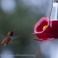 Winter Rufous Hummingbird