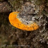Orange Polypore