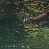 River Otter in Indian River