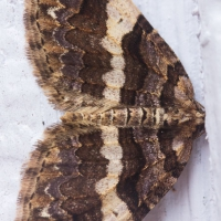 Variable Carpet (Anticlea vasilitata)