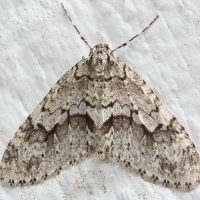 Mottled Gray Carpet (Cladara limitaria)