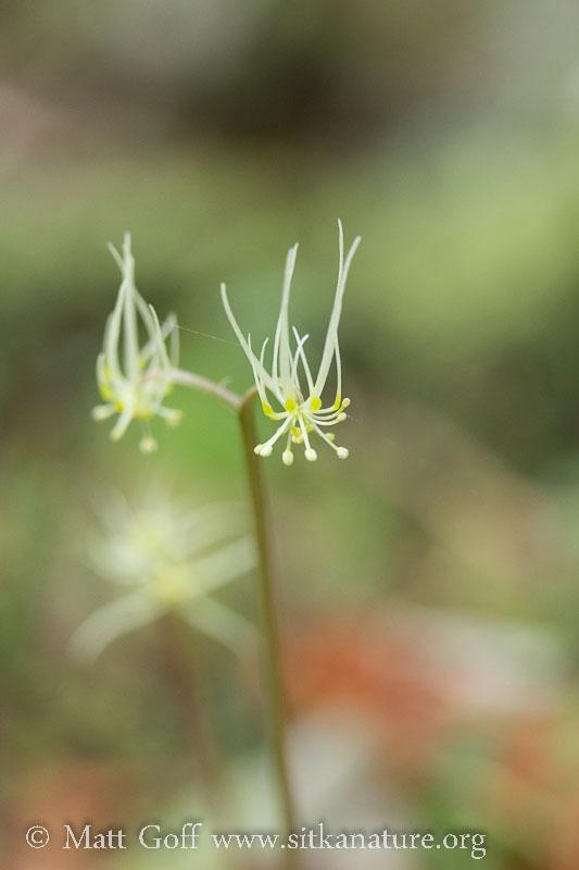 Fern-leaf Goldthread Flowers