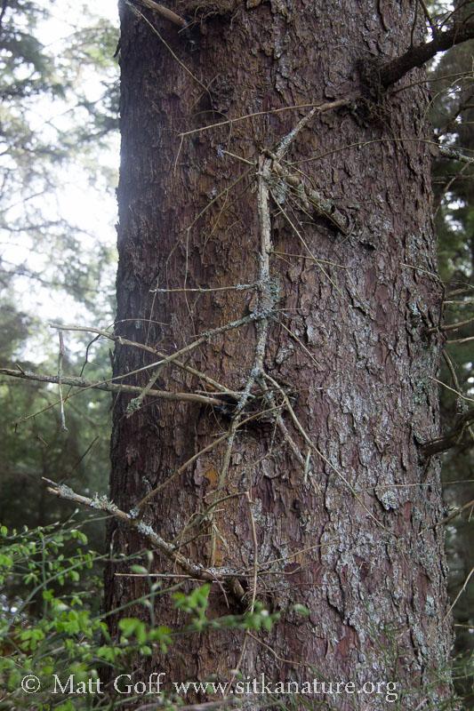 Sitka Spruce Trunk