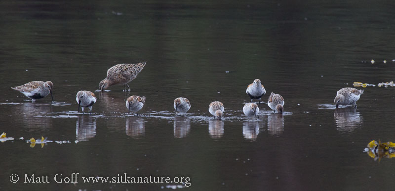 Starrigavan Shorebirds