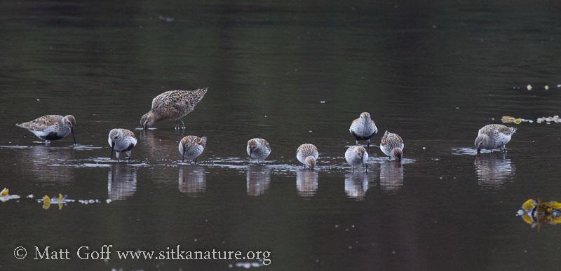 Starrigavan Shorebirds