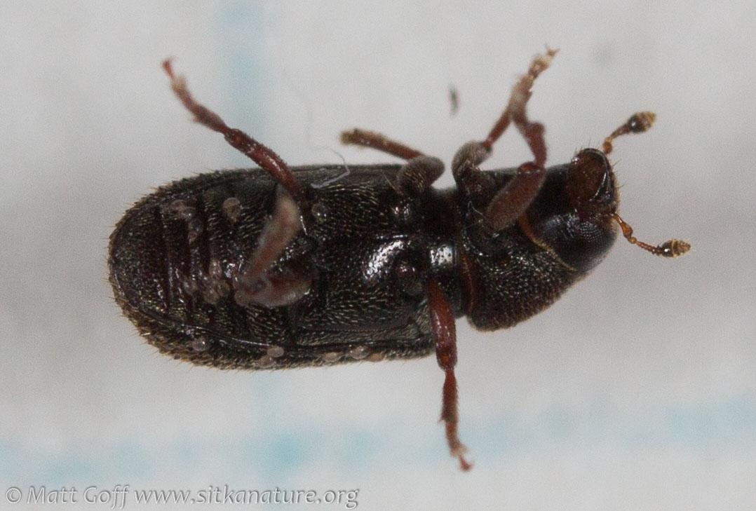 Bark Beetle (Curculionidae)