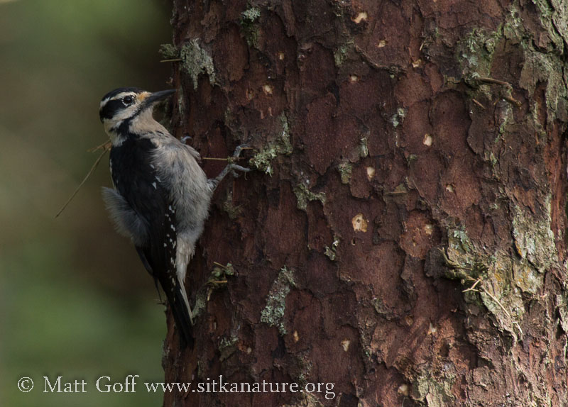 Hairy Woodpecker on Sitka Spruce