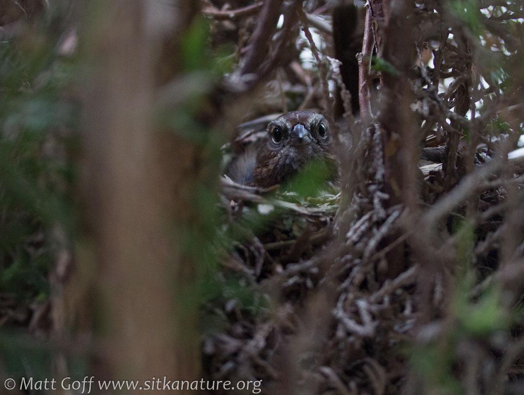 Song Sparrow on Nest