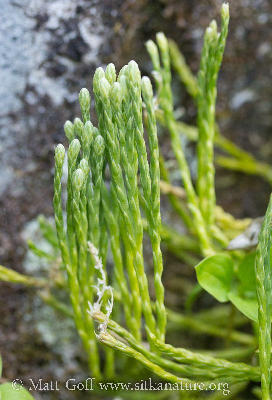 Alpine Clubmoss (Diphasiastrum alpinum) (?)