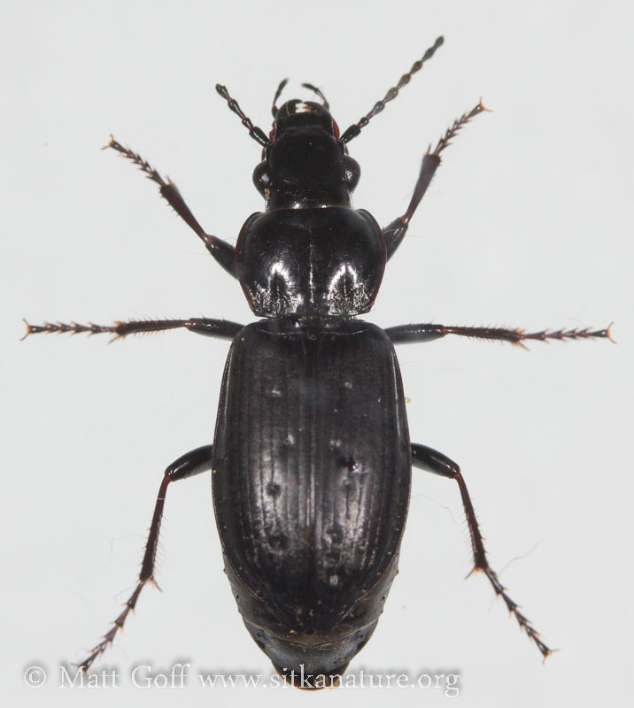 Ground Beetle (?)