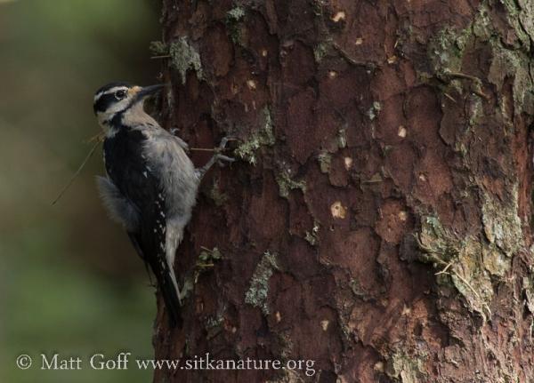 Hairy Woodpecker on Sitka Spruce